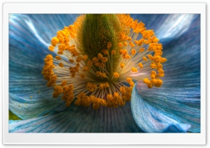 Himalayan Blue Poppy Macro HD Wide Wallpaper for Widescreen