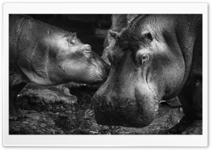 Hippopotamus HD Wide Wallpaper for Widescreen