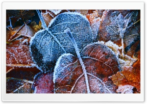 Hoar Frost Leaves HD Wide Wallpaper for Widescreen