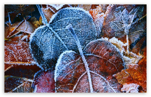Hoar Frost Leaves HD wallpaper for Wide 16:10 5:3 Widescreen WHXGA WQXGA WUXGA WXGA WGA ; HD 16:9 High Definition WQHD QWXGA 1080p 900p 720p QHD nHD ; Standard 4:3 5:4 3:2 Fullscreen UXGA XGA SVGA QSXGA SXGA DVGA HVGA HQVGA devices ( Apple PowerBook G4 iPhone 4 3G 3GS iPod Touch ) ; Tablet 1:1 ; iPad 1/2/Mini ; Mobile 4:3 5:3 3:2 16:9 5:4 - UXGA XGA SVGA WGA DVGA HVGA HQVGA devices ( Apple PowerBook G4 iPhone 4 3G 3GS iPod Touch ) WQHD QWXGA 1080p 900p 720p QHD nHD QSXGA SXGA ;