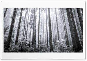 Hoarfrost Forest Black and White Ultra HD Wallpaper for 4K UHD Widescreen desktop, tablet & smartphone