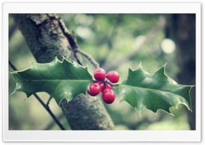 Holly HD Wide Wallpaper for Widescreen