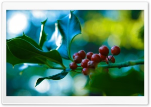 Holly And Berries HD Wide Wallpaper for Widescreen