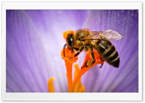 Honey Bee HD Wide Wallpaper for 4K UHD Widescreen desktop & smartphone