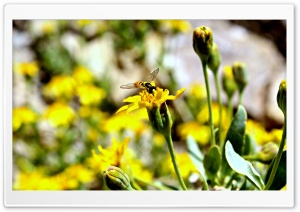 Honey Bee HD Wide Wallpaper for Widescreen