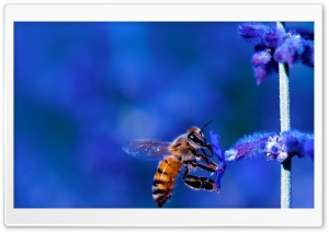 Honey Bee, Blue Lavender Flowers HD Wide Wallpaper for 4K UHD Widescreen desktop & smartphone
