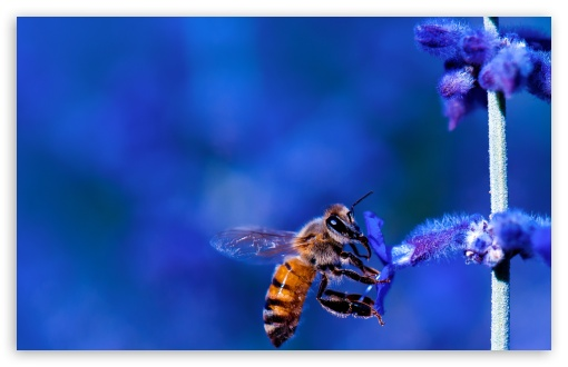 Honey Bee, Blue Lavender Flowers ❤ 4K UHD Wallpaper for Wide 16:10 5:3 Widescreen WHXGA WQXGA WUXGA WXGA WGA ; UltraWide 21:9 ; 4K UHD 16:9 Ultra High Definition 2160p 1440p 1080p 900p 720p ; Standard 4:3 5:4 3:2 Fullscreen UXGA XGA SVGA QSXGA SXGA DVGA HVGA HQVGA ( Apple PowerBook G4 iPhone 4 3G 3GS iPod Touch ) ; Smartphone 16:9 3:2 5:3 2160p 1440p 1080p 900p 720p DVGA HVGA HQVGA ( Apple PowerBook G4 iPhone 4 3G 3GS iPod Touch ) WGA ; Tablet 1:1 ; iPad 1/2/Mini ; Mobile 4:3 5:3 3:2 16:9 5:4 - UXGA XGA SVGA WGA DVGA HVGA HQVGA ( Apple PowerBook G4 iPhone 4 3G 3GS iPod Touch ) 2160p 1440p 1080p 900p 720p QSXGA SXGA ; Dual 16:10 5:3 4:3 5:4 3:2 WHXGA WQXGA WUXGA WXGA WGA UXGA XGA SVGA QSXGA SXGA DVGA HVGA HQVGA ( Apple PowerBook G4 iPhone 4 3G 3GS iPod Touch ) ;