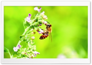 Honey Bee, Bright Green Background HD Wide Wallpaper for Widescreen