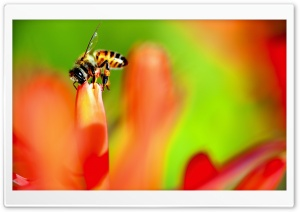Honey Bee collecting Nectar from a Flower HD Wide Wallpaper for Widescreen