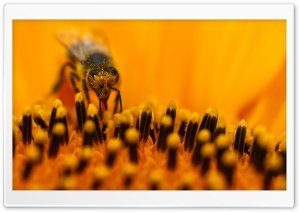 Honey Bee Collecting Pollen HD Wide Wallpaper for Widescreen