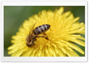 Honey Bee, Honigbiene HD Wide Wallpaper for Widescreen