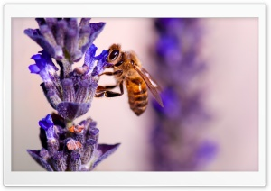 Honey Bee, Lavender HD Wide Wallpaper for Widescreen