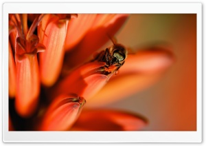 Honey Bee, Red Aloe Flower HD Wide Wallpaper for Widescreen