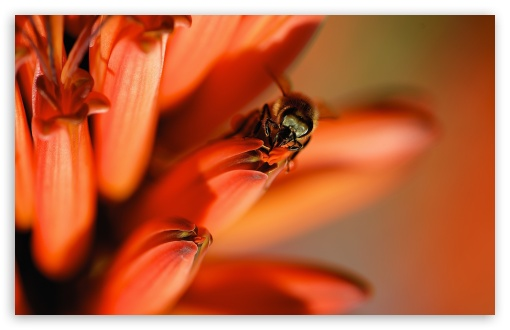 Honey Bee, Red Aloe Flower ❤ 4K UHD Wallpaper for Wide 16:10 5:3 Widescreen WHXGA WQXGA WUXGA WXGA WGA ; UltraWide 21:9 24:10 ; 4K UHD 16:9 Ultra High Definition 2160p 1440p 1080p 900p 720p ; UHD 16:9 2160p 1440p 1080p 900p 720p ; Standard 4:3 5:4 3:2 Fullscreen UXGA XGA SVGA QSXGA SXGA DVGA HVGA HQVGA ( Apple PowerBook G4 iPhone 4 3G 3GS iPod Touch ) ; Smartphone 16:9 3:2 5:3 2160p 1440p 1080p 900p 720p DVGA HVGA HQVGA ( Apple PowerBook G4 iPhone 4 3G 3GS iPod Touch ) WGA ; Tablet 1:1 ; iPad 1/2/Mini ; Mobile 4:3 5:3 3:2 16:9 5:4 - UXGA XGA SVGA WGA DVGA HVGA HQVGA ( Apple PowerBook G4 iPhone 4 3G 3GS iPod Touch ) 2160p 1440p 1080p 900p 720p QSXGA SXGA ; Dual 16:10 5:3 16:9 4:3 5:4 3:2 WHXGA WQXGA WUXGA WXGA WGA 2160p 1440p 1080p 900p 720p UXGA XGA SVGA QSXGA SXGA DVGA HVGA HQVGA ( Apple PowerBook G4 iPhone 4 3G 3GS iPod Touch ) ;