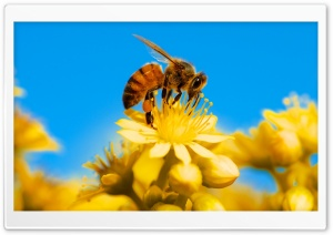 Honey Bee, Yellow Flower, Blue Sky HD Wide Wallpaper for 4K UHD Widescreen desktop & smartphone