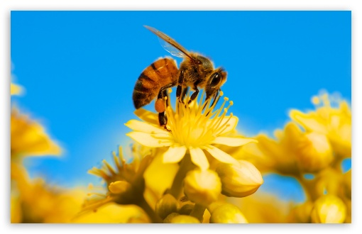 Honey Bee, Yellow Flower, Blue Sky ❤ 4K UHD Wallpaper for Wide 16:10 5:3 Widescreen WHXGA WQXGA WUXGA WXGA WGA ; UltraWide 21:9 ; 4K UHD 16:9 Ultra High Definition 2160p 1440p 1080p 900p 720p ; Standard 4:3 5:4 3:2 Fullscreen UXGA XGA SVGA QSXGA SXGA DVGA HVGA HQVGA ( Apple PowerBook G4 iPhone 4 3G 3GS iPod Touch ) ; Smartphone 16:9 3:2 5:3 2160p 1440p 1080p 900p 720p DVGA HVGA HQVGA ( Apple PowerBook G4 iPhone 4 3G 3GS iPod Touch ) WGA ; Tablet 1:1 ; iPad 1/2/Mini ; Mobile 4:3 5:3 3:2 16:9 5:4 - UXGA XGA SVGA WGA DVGA HVGA HQVGA ( Apple PowerBook G4 iPhone 4 3G 3GS iPod Touch ) 2160p 1440p 1080p 900p 720p QSXGA SXGA ;