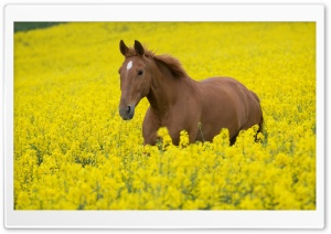 Horse In Flower Field HD Wide Wallpaper for 4K UHD Widescreen desktop & smartphone