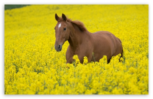 Horse In Flower Field HD wallpaper for Wide 16:10 5:3 Widescreen WHXGA WQXGA WUXGA WXGA WGA ; HD 16:9 High Definition WQHD QWXGA 1080p 900p 720p QHD nHD ; Standard 4:3 5:4 3:2 Fullscreen UXGA XGA SVGA QSXGA SXGA DVGA HVGA HQVGA devices ( Apple PowerBook G4 iPhone 4 3G 3GS iPod Touch ) ; Tablet 1:1 ; iPad 1/2/Mini ; Mobile 4:3 5:3 3:2 16:9 5:4 - UXGA XGA SVGA WGA DVGA HVGA HQVGA devices ( Apple PowerBook G4 iPhone 4 3G 3GS iPod Touch ) WQHD QWXGA 1080p 900p 720p QHD nHD QSXGA SXGA ;