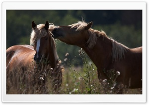 Horse Kiss HD Wide Wallpaper for Widescreen