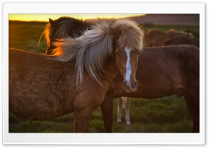 Horses In Iceland HD Wide Wallpaper for Widescreen
