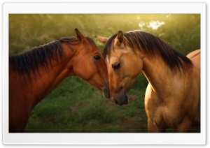Horses Love HD Wide Wallpaper for 4K UHD Widescreen desktop & smartphone