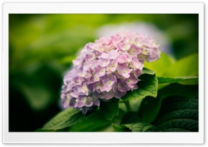 Hortensia HD Wide Wallpaper for Widescreen