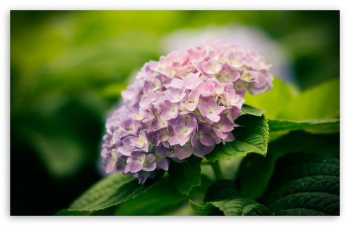 Hortensia HD wallpaper for Wide 16:10 5:3 Widescreen WHXGA WQXGA WUXGA WXGA WGA ; HD 16:9 High Definition WQHD QWXGA 1080p 900p 720p QHD nHD ; Standard 4:3 5:4 3:2 Fullscreen UXGA XGA SVGA QSXGA SXGA DVGA HVGA HQVGA devices ( Apple PowerBook G4 iPhone 4 3G 3GS iPod Touch ) ; Tablet 1:1 ; iPad 1/2/Mini ; Mobile 4:3 5:3 3:2 16:9 5:4 - UXGA XGA SVGA WGA DVGA HVGA HQVGA devices ( Apple PowerBook G4 iPhone 4 3G 3GS iPod Touch ) WQHD QWXGA 1080p 900p 720p QHD nHD QSXGA SXGA ; Dual 16:10 5:4 WHXGA WQXGA WUXGA WXGA QSXGA SXGA ;