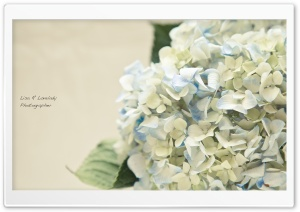 Hortensia Bouquet HD Wide Wallpaper for Widescreen
