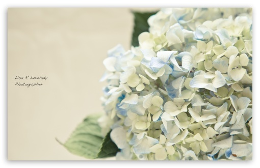 Hortensia Bouquet HD wallpaper for Wide 16:10 5:3 Widescreen WHXGA WQXGA WUXGA WXGA WGA ; HD 16:9 High Definition WQHD QWXGA 1080p 900p 720p QHD nHD ; Standard 4:3 5:4 3:2 Fullscreen UXGA XGA SVGA QSXGA SXGA DVGA HVGA HQVGA devices ( Apple PowerBook G4 iPhone 4 3G 3GS iPod Touch ) ; iPad 1/2/Mini ; Mobile 4:3 5:3 3:2 16:9 5:4 - UXGA XGA SVGA WGA DVGA HVGA HQVGA devices ( Apple PowerBook G4 iPhone 4 3G 3GS iPod Touch ) WQHD QWXGA 1080p 900p 720p QHD nHD QSXGA SXGA ;