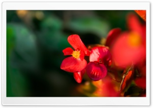 Hostblomma HD Wide Wallpaper for Widescreen