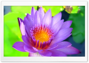 Hot Lotus HD Wide Wallpaper for Widescreen