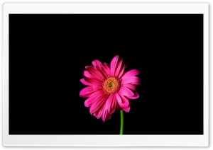 Hot Pink Gerber Daisy HD Wide Wallpaper for Widescreen