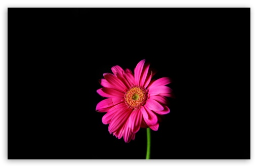 Hot Pink Gerber Daisy ❤ 4K UHD Wallpaper for Wide 16:10 5:3 Widescreen WHXGA WQXGA WUXGA WXGA WGA ; 4K UHD 16:9 Ultra High Definition 2160p 1440p 1080p 900p 720p ; UHD 16:9 2160p 1440p 1080p 900p 720p ; Standard 4:3 5:4 3:2 Fullscreen UXGA XGA SVGA QSXGA SXGA DVGA HVGA HQVGA ( Apple PowerBook G4 iPhone 4 3G 3GS iPod Touch ) ; Tablet 1:1 ; iPad 1/2/Mini ; Mobile 4:3 5:3 3:2 16:9 5:4 - UXGA XGA SVGA WGA DVGA HVGA HQVGA ( Apple PowerBook G4 iPhone 4 3G 3GS iPod Touch ) 2160p 1440p 1080p 900p 720p QSXGA SXGA ; Dual 5:4 QSXGA SXGA ;