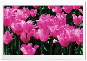 Hot Pink Tulips HD Wide Wallpaper for Widescreen