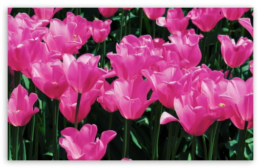 Hot Pink Tulips HD wallpaper for Wide 16:10 5:3 Widescreen WHXGA WQXGA WUXGA WXGA WGA ; HD 16:9 High Definition WQHD QWXGA 1080p 900p 720p QHD nHD ; Standard 4:3 5:4 3:2 Fullscreen UXGA XGA SVGA QSXGA SXGA DVGA HVGA HQVGA devices ( Apple PowerBook G4 iPhone 4 3G 3GS iPod Touch ) ; Smartphone 5:3 WGA ; Tablet 1:1 ; iPad 1/2/Mini ; Mobile 4:3 5:3 3:2 16:9 5:4 - UXGA XGA SVGA WGA DVGA HVGA HQVGA devices ( Apple PowerBook G4 iPhone 4 3G 3GS iPod Touch ) WQHD QWXGA 1080p 900p 720p QHD nHD QSXGA SXGA ; Dual 16:10 5:3 16:9 4:3 5:4 WHXGA WQXGA WUXGA WXGA WGA WQHD QWXGA 1080p 900p 720p QHD nHD UXGA XGA SVGA QSXGA SXGA ;
