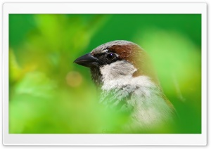House Sparrow HD Wide Wallpaper for Widescreen