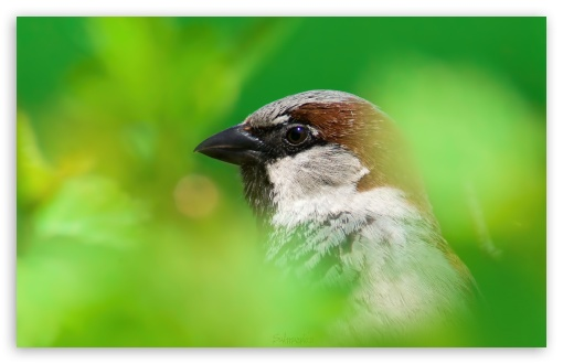 House Sparrow HD desktop wallpaper