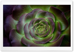 Houseleek Succulent Plant HD Wide Wallpaper for Widescreen
