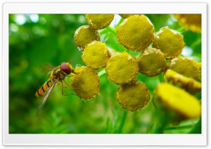 Hoverfly HD Wide Wallpaper for Widescreen