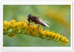 Hoverfly at breakfast - Schwebfliege beim Essen HD Wide Wallpaper for Widescreen