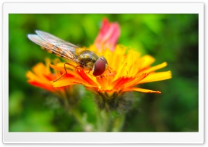 Hoverfly On A Orange Flower HD Wide Wallpaper for Widescreen