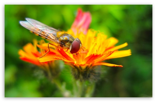 Hoverfly On A Orange Flower HD wallpaper for Wide 16:10 5:3 Widescreen WHXGA WQXGA WUXGA WXGA WGA ; HD 16:9 High Definition WQHD QWXGA 1080p 900p 720p QHD nHD ; UHD 16:9 WQHD QWXGA 1080p 900p 720p QHD nHD ; Standard 4:3 5:4 3:2 Fullscreen UXGA XGA SVGA QSXGA SXGA DVGA HVGA HQVGA devices ( Apple PowerBook G4 iPhone 4 3G 3GS iPod Touch ) ; Tablet 1:1 ; iPad 1/2/Mini ; Mobile 4:3 5:3 3:2 16:9 5:4 - UXGA XGA SVGA WGA DVGA HVGA HQVGA devices ( Apple PowerBook G4 iPhone 4 3G 3GS iPod Touch ) WQHD QWXGA 1080p 900p 720p QHD nHD QSXGA SXGA ; Dual 16:10 4:3 5:4 WHXGA WQXGA WUXGA WXGA UXGA XGA SVGA QSXGA SXGA ;
