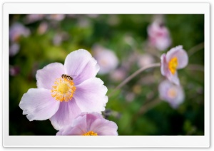 Hoverfly On A Pink Flower HD Wide Wallpaper for Widescreen