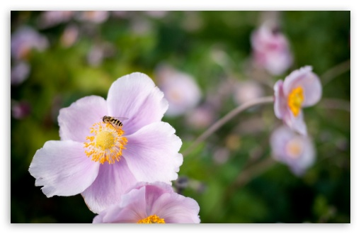 Hoverfly On A Pink Flower HD wallpaper for Wide 16:10 5:3 Widescreen WHXGA WQXGA WUXGA WXGA WGA ; HD 16:9 High Definition WQHD QWXGA 1080p 900p 720p QHD nHD ; Standard 4:3 5:4 3:2 Fullscreen UXGA XGA SVGA QSXGA SXGA DVGA HVGA HQVGA devices ( Apple PowerBook G4 iPhone 4 3G 3GS iPod Touch ) ; Tablet 1:1 ; iPad 1/2/Mini ; Mobile 4:3 5:3 3:2 16:9 5:4 - UXGA XGA SVGA WGA DVGA HVGA HQVGA devices ( Apple PowerBook G4 iPhone 4 3G 3GS iPod Touch ) WQHD QWXGA 1080p 900p 720p QHD nHD QSXGA SXGA ; Dual 16:10 5:3 16:9 4:3 5:4 WHXGA WQXGA WUXGA WXGA WGA WQHD QWXGA 1080p 900p 720p QHD nHD UXGA XGA SVGA QSXGA SXGA ;