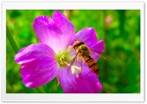 Hoverfly On Flower HD Wide Wallpaper for 4K UHD Widescreen desktop & smartphone