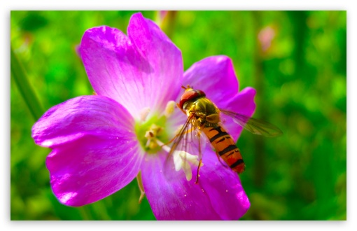 Hoverfly On Flower HD wallpaper for Wide 16:10 5:3 Widescreen WHXGA WQXGA WUXGA WXGA WGA ; HD 16:9 High Definition WQHD QWXGA 1080p 900p 720p QHD nHD ; UHD 16:9 WQHD QWXGA 1080p 900p 720p QHD nHD ; Standard 4:3 5:4 3:2 Fullscreen UXGA XGA SVGA QSXGA SXGA DVGA HVGA HQVGA devices ( Apple PowerBook G4 iPhone 4 3G 3GS iPod Touch ) ; Tablet 1:1 ; iPad 1/2/Mini ; Mobile 4:3 5:3 3:2 16:9 5:4 - UXGA XGA SVGA WGA DVGA HVGA HQVGA devices ( Apple PowerBook G4 iPhone 4 3G 3GS iPod Touch ) WQHD QWXGA 1080p 900p 720p QHD nHD QSXGA SXGA ; Dual 4:3 5:4 UXGA XGA SVGA QSXGA SXGA ;