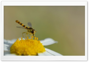 Hoverfly (Sphaerophoria Scripta) HD Wide Wallpaper for Widescreen