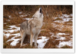 Howling Coyote Montana HD Wide Wallpaper for Widescreen