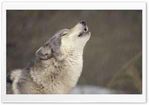 Howling Timber Wolf Temperate North America HD Wide Wallpaper for 4K UHD Widescreen desktop & smartphone
