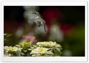 Humming-bird HD Wide Wallpaper for Widescreen